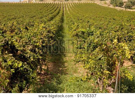 Vineyards in the countryside of Puglia