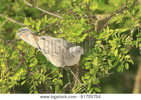 Dove Among The Branches
