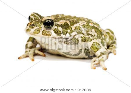 Green Toad