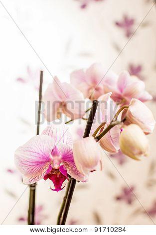 Violet Orchid