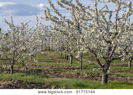 Cherry Trees With Blossoms