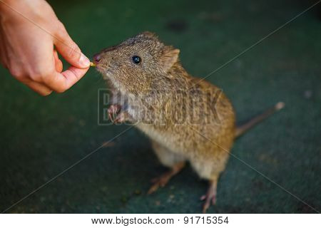 Feeding of rat