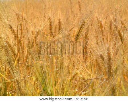 Field Of Grain