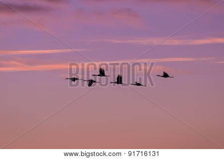 Flying Sandhill Cranes at Sunrise