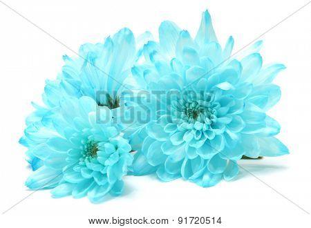 blue chrysanthemum flower on white