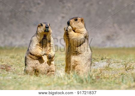 Himalayan Marmots Pair Standing In Open Grassland, Ladakh, India