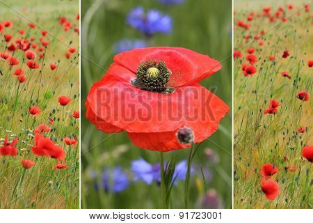 Collage Of Red Poppies In The Field And One Poppy Flower
