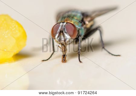 Small House Bottle Fly With A Piece Of Corn And A White Background