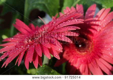Pink herberas with water drops