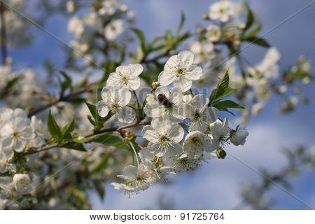 Bee On The White Cherry Blossom