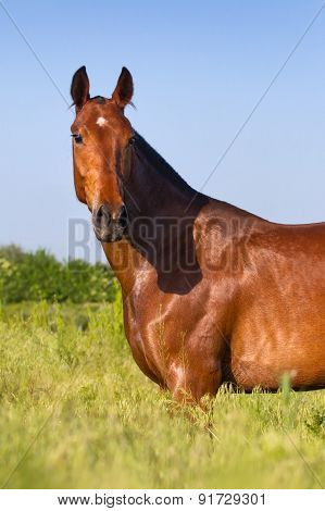 Bay mare portrait