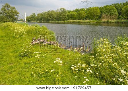 Geese with goslings swimming in a canal in spring