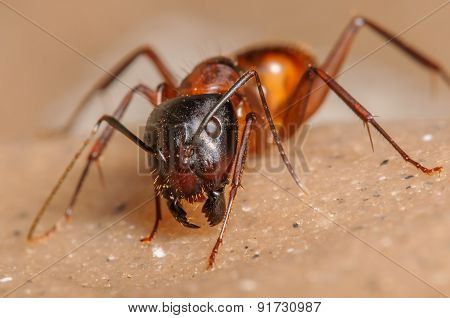 Red Ant Portrait