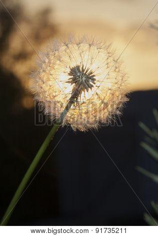 Dandelion Backlit Sunset