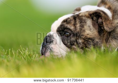 Close-up Of Purebred Bulldog