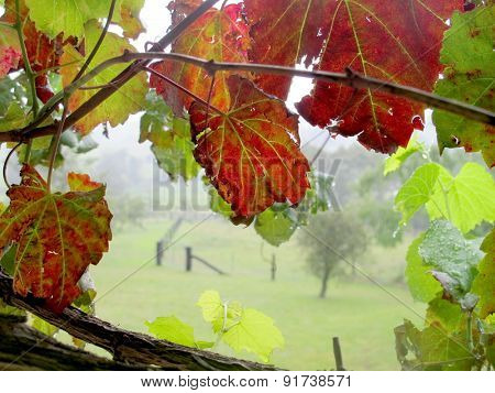 Grape Vine Window
