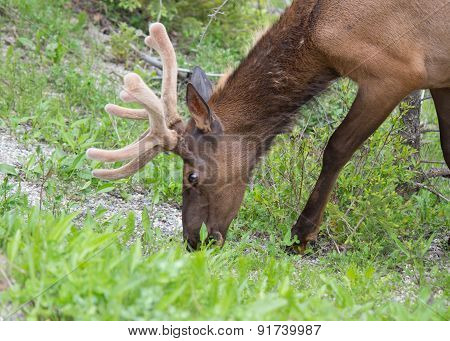 Grazing Male White-tail Deer