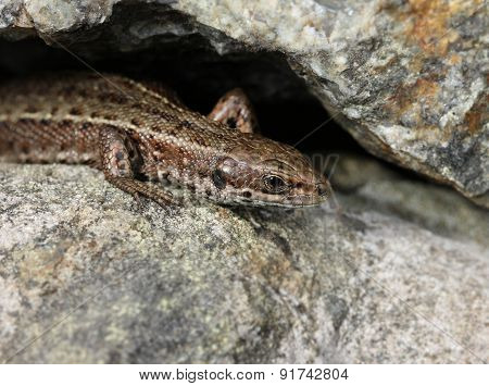 Viviparous Lizard On Stone