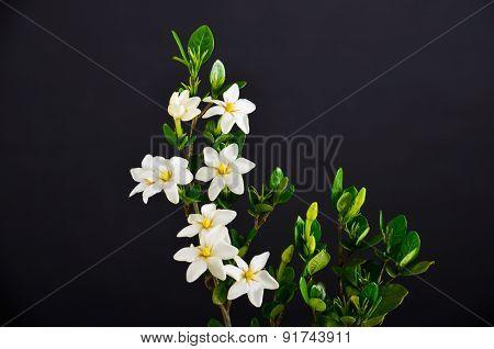 branch gardenia on black