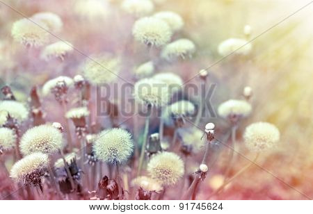 Dandelion seeds lit by sunbeams