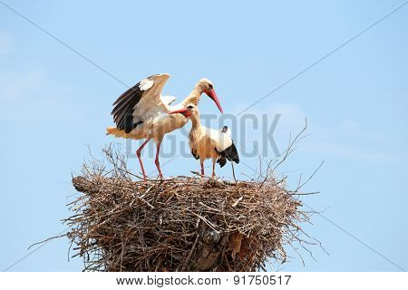 White storks on the nest - Ciconia ciconia