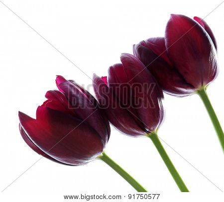 Beautiful violet tulips isolated on white