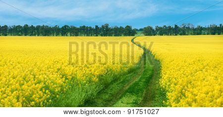 Ground road in yellow rapeseed flowers field