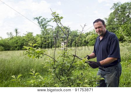 Organic Farmer Pruning A Dwarf Apple Tree