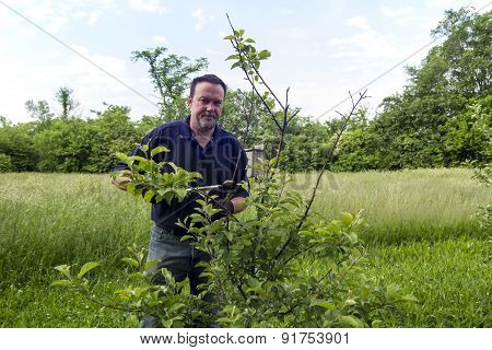 Farmer Pruning A Organic Apple Tree