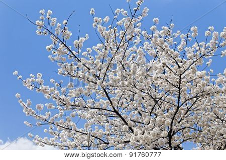 Branches of blooming apple tree with many flowers over blue sky