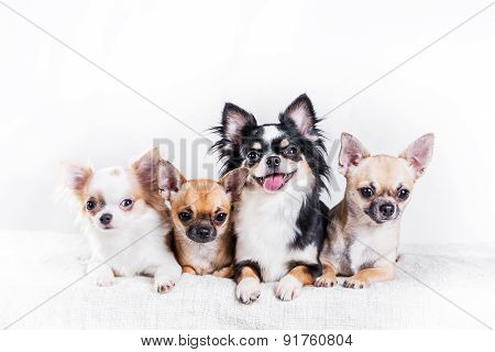 Four Chihuahua Dogs
