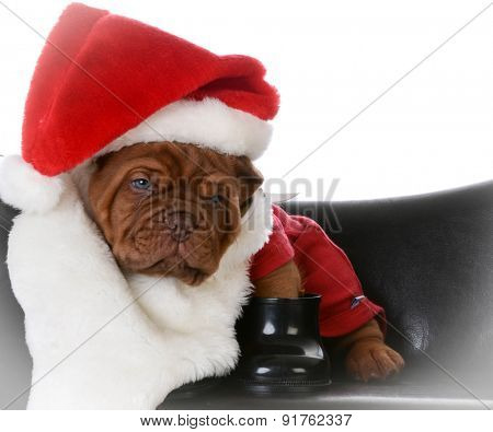 christmas puppy - dogue de bordeaux puppy dressed up like santa