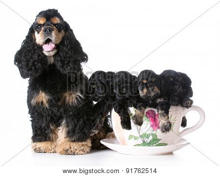 litter of american cocker spaniel puppies with their mother - 6 weeks old