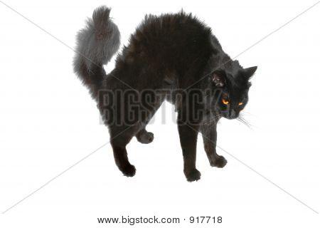 Halloween cerda do gato preto