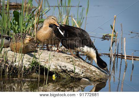 Duck in natural habitat
