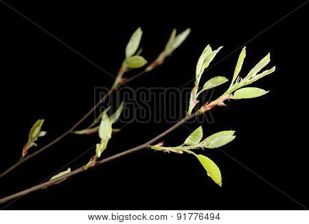 Tree Twigs In Spring