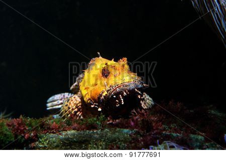 Yellow Scorpionfish On A Black Background