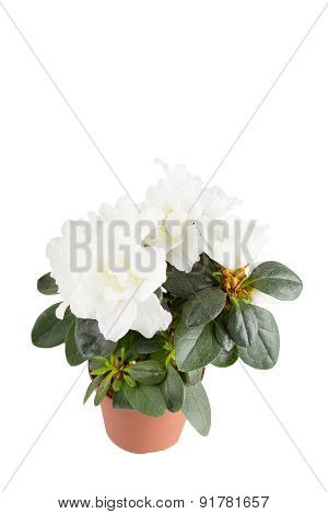 Mini-azalea With Big White Flowers, It Is Isolated, A White Background