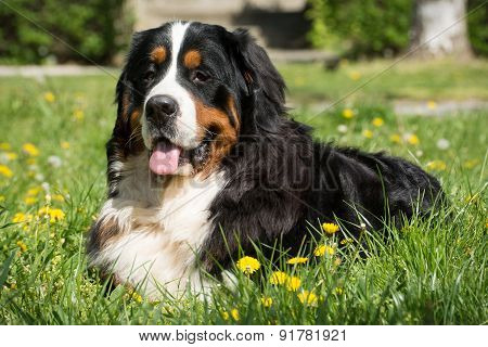 Bernese mountain dog laying on grass