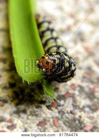 Amaryllis Caterpillar