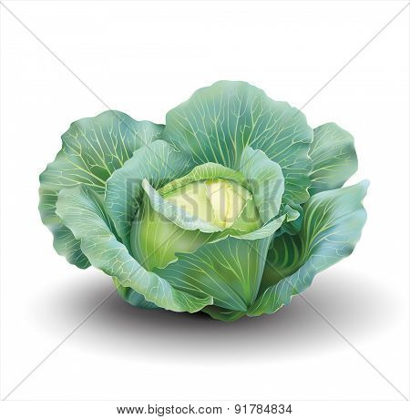 Cabbage isolated on white. Vector illustration.