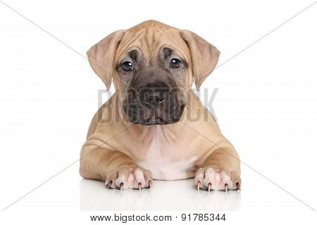 Staffordshire Terrier Puppy Lying On White Background