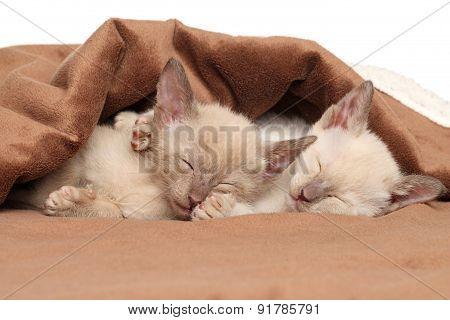 Oriental Kittens Sleeping Under Blanket
