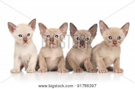 Oriental Kittens Against White Background