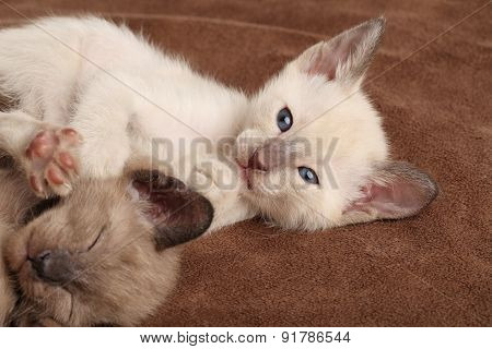 Kittens Playing On A Brown Blanket