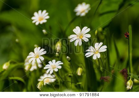 White Flowers Meadow Spring