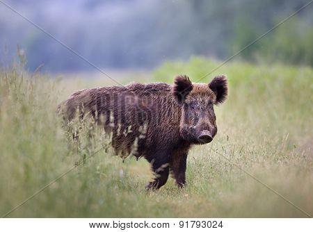 Wild Boar (sus Scrofa Ferus)