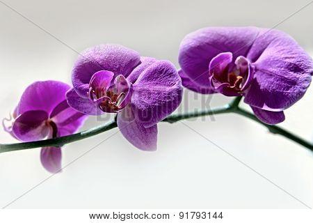 Purple Orchid - Phalaenopsis