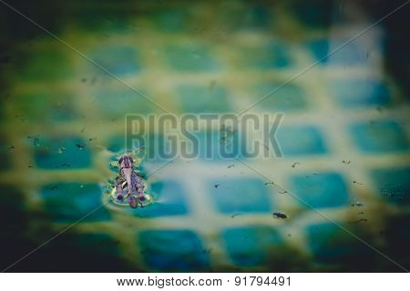 Grasshopper floating in the pool water.