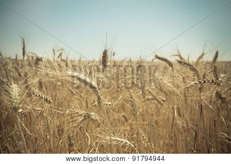 Close up of a golden wheat field